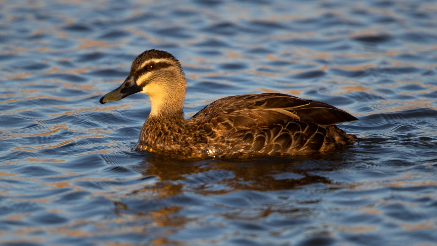 Pacific Black Duck - Anas gracilis - Lake Elterwater
